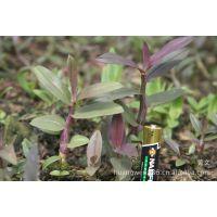 【优质供应】正品铁皮石斛种苗 植物原药材植物原药材