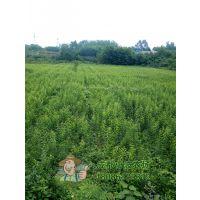 冰糖李苗的栽培技术 李子树苗品种介绍 李子树苗那个品种结果好吃