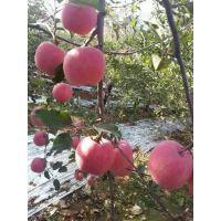 粉红女士苹果价格 陕西粉红女士苹果行情