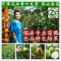嫁接台湾四季珍珠番石榴苗 芭乐果树苗红肉番石榴苗 当年结果 包品种 众顺农业