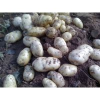 供应山东 肥城 荷兰十五土豆 马铃薯 代收代购 供应