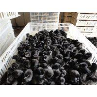 广东省大量供应绿壳蛋鸡苗,商品绿壳蛋鸡,绿壳鸡蛋