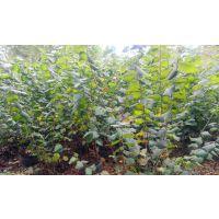 供应欧洲榛子苗3000棵