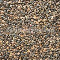 芽苗菜种子苦荞麦种子甜荞麦阳台种植蔬菜种子水培芽苗菜苦荞籽
