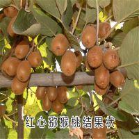 黄金果猕猴桃苗 你的选择 产量高 泰安大地果树园艺场