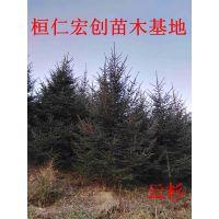 云杉3-12米树价格、辽宁云杉基地