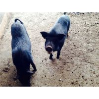 什么项目赚钱***快?藏香猪养殖是好选择