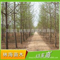 供应22公分银杏实生树 春季银杏树 各种绿化苗木 质优价廉【图】