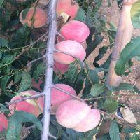 信森农业科技嫁接晚熟沂蒙霜红桃树苗价格 嫁接管理方法