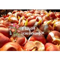 球根花卉价格,郁金香花卉价格,郁金香种球价格,郁金香种球批发地