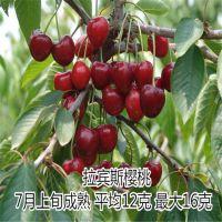 矮化大樱桃树苗 嫁接优质果树苗樱桃树苗木 樱桃苗供应 大樱桃树苗价格优惠 1年以上苗 2年结果