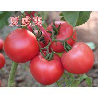 """越夏耐热粉果西红柿种子番茄种子——""""夏威夷"""""""