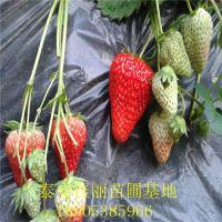 法兰地草莓苗基地哪里有?泰安佳丽园艺中心品种齐全 价格优惠