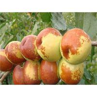 枣树苗种植方法 泰安佳丽园艺中心