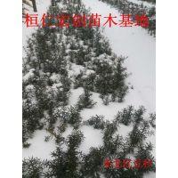 东北红豆杉2年苗、东北红豆杉基地、辽宁东北红豆杉、东北红豆杉盆景