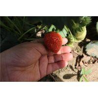 奶油草莓苗繁育、黄山奶油草莓苗、龙鑫苗木