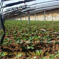 草莓苗的大型培育基地在哪里、2018年红颜草莓苗多少钱一棵
