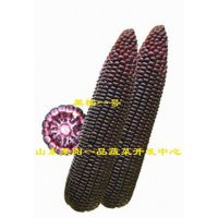 黑玉米种子黑糯一号杂交一代品种
