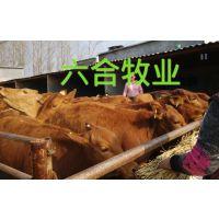 肉牛价格哪里好,肉牛犊 杂交肉牛山东肉牛牧业