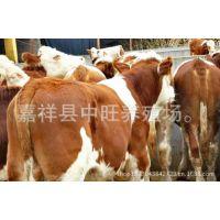 养殖场销售各种优质肉牛 西门塔尔牛 欢迎来电咨询