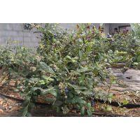 百色农业(在线咨询)|遵义蓝莓苗|蓝莓苗供应商