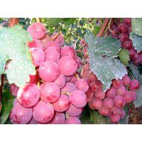 供应陕西大荔优质红提葡萄产地行情价格销售批发种植