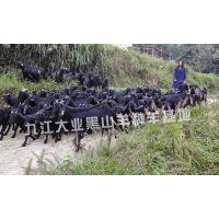 努比亚黑山羊羊苗500元/头销售