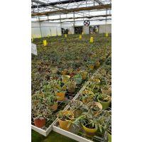 安徽铁皮石斛种植基地 合肥铁皮石斛种植基地