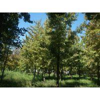 绿都园林(在线咨询)、北京银杏树、12cm银杏树苗