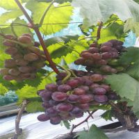 泰安基地种植批发葡萄苗 易管理成活率高优质嫁接葡萄苗 规格齐全