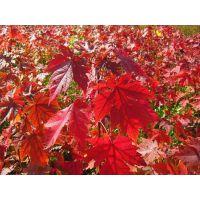 红点红枫、红点红枫(图)、红点红枫移栽