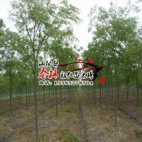供应低价绿化 榉树 红榉树 红榉苗 血榉树苗 庭院绿化苗 庭院植物