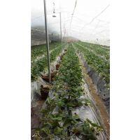 章姬草莓苗种植|金华章姬草莓苗|世杰园艺场