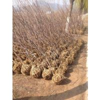 壹棵树农业矮化大樱桃树苗 结果早 成活率98% 欢迎选购量大从优