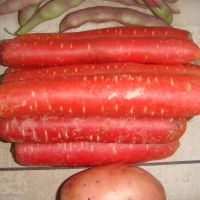 新上市保鲜蔬菜  大凉山 新鲜胡萝卜新鲜上市 大量出口