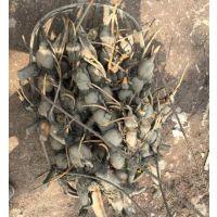 藕御莲藕(图)、仙桃藕带种批发价、临安市藕带种