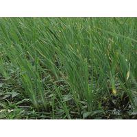 香蒲|香蒲种植|香蒲种苗|香蒲苗|水生植物香蒲