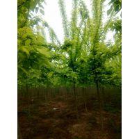 金叶复叶槭价格 金叶复叶槭价格更新 金叶复叶槭报价参考