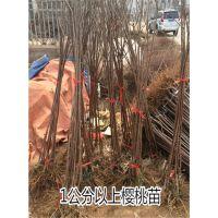 玛瑙红樱桃苗栽培技术 3公分樱桃树苗价格