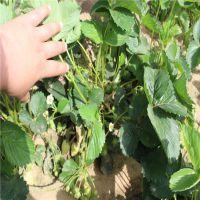 批发优质红颜草莓苗 价格低 产量大 火热销售中 泰安大地果树园艺场