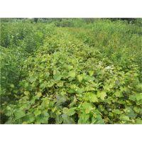 葡萄树价格,供应京亚葡萄苗,1-2公分葡萄树,盆栽葡萄