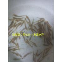 供应广西钦州泥鳅苗台湾泥鳅苗