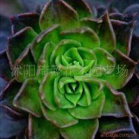 出售仙人植物多肉植物 仙人球宝石 室内盆栽 防辐射