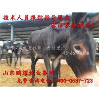 的肉驴价格 的肉驴品种 山东的肉驴养殖场