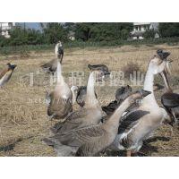 供应广西合浦黑狮头鹅苗 合浦县名优鹅种 90天均重14斤