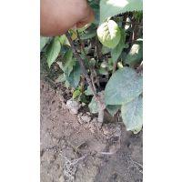 嫁接梨树苗品种 农民致富良机种植果树苗 黄金梨树苗