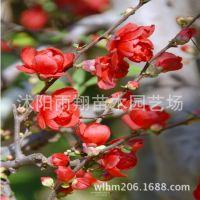 日本海棠日本海棠苗海棠花可以盆栽的日本海棠苗8元/棵