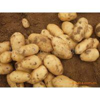 土豆批发 土豆加工厂 土豆出口 土豆出口商