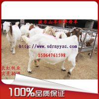 销售波尔山羊怀孕母羊 纯种 小羊价格 种羊品种【免费送货上门】