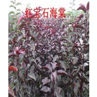 留源苗木(在线咨询)、山西红宝石海棠、山西红宝石海棠苗供应